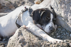 Sleeping in the Sunshine ♡ (Ranveig Marie Photography) Tags: tessi dog pet asleep sleeping sunshine warm beach sand stones rocks eigerøy norge norway