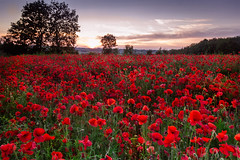 Poppy field at sunset (martin harris.) Tags: poppy field sunset landscape flower red meadow spring sun sunlight summer nature wiltshire canon sky