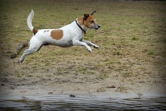 That's Flying! (c.marney) Tags: jack russell terrier dog
