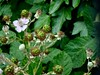 Blackberries, Greenhill Road, Cwmbran 18 June 2018 (Cold War Warrior) Tags: blackberry cwmbran