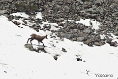 De roche en roche (Yaxara) Tags: alps france nature mountain animal rock snow wildlife