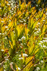 Morning Light Through Wildflowers (Jill Clardy) Tags: arnold california northamerica usa hike mountains 201307304b4a0288 morning light gold yellow green wildflowers weeds abstract texture sierra
