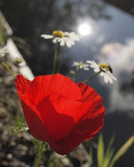 Evening Poppy (cycle.nut66) Tags: poppy red evening light canal grand union aylesbury arm sky reflection clouds blue green contra jour backlight petals olympus epl1 evolt micro four thirds mzuiko