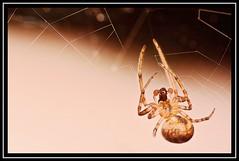 """Palpable..."" (NikonShutterBug1) Tags: nikond7100 tokina100mm entomology nature wildlife bokeh spe smartphotoeditor closeup macro spider insects arachnology araneology web"