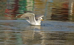 IMG_1800 (alexandros9) Tags: lavrium fishing port seagull birds attica greece ngc npc