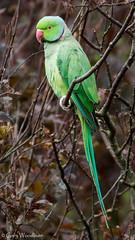Ring-necked Parakeet - Embleton, Northumberland (Gary Woodburn) Tags: ringnecked parakeet rose ringed male embleton northumberland canon 7d mk2 mkii 300mm f4