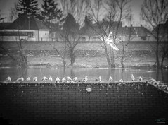Dove of hope (D D photography) Tags: photo photography dove white blackandwhite fly flight river roof bird birds lines directions