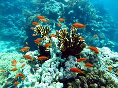 (sharksfin) Tags: sudan redsea rotesmeer ocean diving marinelife sea meer reef coral riff deepsouth