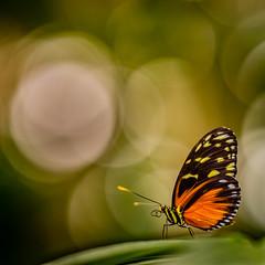 Butterfly and Bokeh (Sean Lancaster) Tags: nex butterflies meijer gardens sony a7 westmiphoto emount samyang 135 rokinon 1352 mirrorless meijergardens sonya7