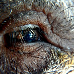 The Pig's Eye (digit50d) Tags: eye eyes julianapig aukey pig