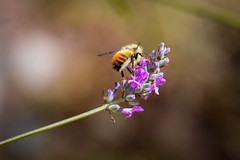 Back Yard Photos (Every Day Images) Tags: erniedickey sharevi sky summer sunrise explorebc explore vancouverisland canada canon6dmark2 calm canon victoriabuzz view victoria insect wasp macro flickr flowers nature natural