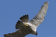 IMG_1448 (superbradphotos) Tags: peregrine falcon eyass tiercel peregrinejuvenile raptors falcons birdsofprey predators superbrad superbradphotos ianbradley stmaryschurch nottinghamshire eastwood theparishchurchofsaintmaryeastwoodnottinghamshire