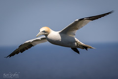 Gannet (Photography - KG's) Tags: rspb gannet wildlife nature bird birds animals bemptoncliffs reserve