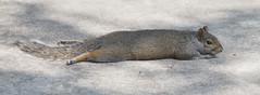 Heat wave (Mawrter) Tags: squirrel hot heat heatwave melt nature cute canon animal wild mammal specanimal