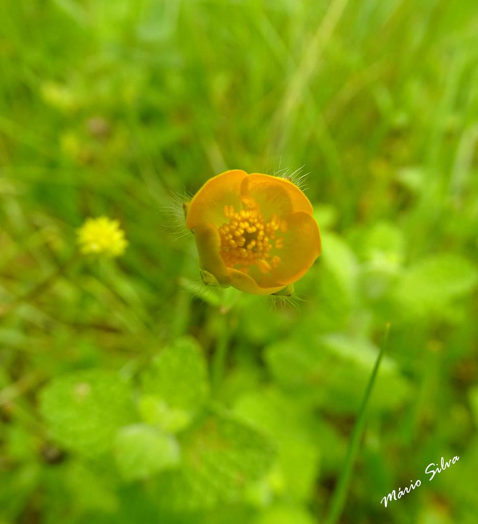 Águas Frias (Chaves) - ... pequena flor campestre amarela no meio da verdura ...