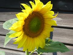 Sunflower (ART NAHPRO) Tags: sunflower sussex rural