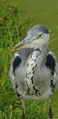 20180710_133604 (The Unofficial Photographer (CFB)) Tags: ron heron bestofthebest greychestedheron greyheron featheredfriends