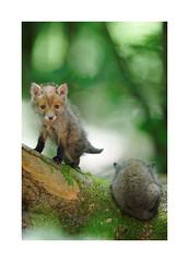 renardeaux (Samuel Hauviller) Tags: renard wild nature renardeau fox sauvage printemps
