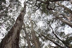 Eucalyptus amygdalina canopy (J. B. Friday) Tags: hosmergrove hosmersgrove haleakala eucalyptus eucalyptusamygdalina myrtaceae