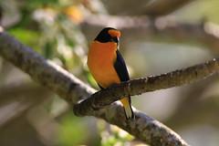 504A8052 (Rod.T28) Tags: gaturamoverdadeiro birds birdphotography canon7dmarkii canon400mm28lusmii canonextender14xii riodejaneiro colours colors yellow euphoniaviolaceous