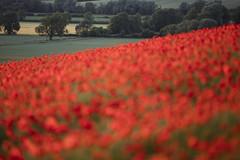 Poppy Field (Daniel Trim) Tags: poppy poppies wild flower wildflower meadow summer bedfordshire pegs don hills pegsdon papaver rhoeas common field fields
