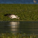 Osprey Dive (JimUSNY) Tags: