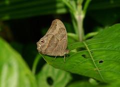Tailed Gemmed-satyr --- Cyllopsis hedemanni (creaturesnapper) Tags: costarica lepidoptera xandariresort butterflies satyrinae tailedgemmedsatyr cyllopsishedemanni