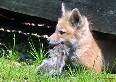 DSC_0326 (RachidH) Tags: fox renard vulpes foxcub foxkit renardeau redfox renardroux vulpesvulpes backyard wildlife sparta newjersey nj rachidh nature