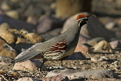 1.00732 Colin de Gambel / Callipepla gambelii fulvipectus / Gambell's Quail (Laval Roy) Tags: colindegambel callipeplagambeliifulvipectus gambellsquail odontophoridés galliformes eos7d canon ef300mm14lisextender14xiii oiseaux birds aves lavalroy arizona usa