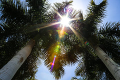 a bit of flare (Paul Wrights Reserved) Tags: lens flare lensflare tree trees palmtrees colour light sunburst starburst sky branches leaves