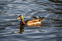 _MG_4018a (Rick_Moeller) Tags: nature wildlife birds stferdinandpark florissant missouri mo outdoors ducks