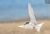 White fronted Tern 10 (Black Stallion Photography) Tags: white front tern fish beak bird wildlife newzealand nzbirds open wings tail flight red legs black stallion photography igallopfree