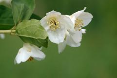 Jasmiin. Jasminum (Jaan Keinaste) Tags: pentax k3 pentaxk3 eesti estonia loodus nature põõsas jasmiin jasminum bush jupiter37a