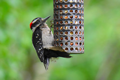 Hairy Woodpecker (Dryobates villosus) male (R-Gasman) Tags: bird hairywoodpecker dryobatesvillosus male richmondnaturepark richmond britishcolumbia canada