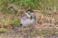 Pied Wagtail Juv (Dougie Edmond) Tags: monkton scotland unitedkingdom gb bird birds nature wildlife ayrshire pow burn