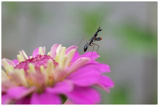 A Juvenile Praying Mantis