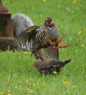 Partridge Fight