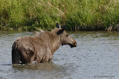 Young moose on its own... (danielusescanon) Tags: moose pottermarsh anchorage alaska alcesalces herbivore young