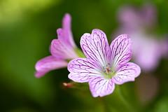 Hardy Geranium Cranesbill (Ben-ah) Tags: cranesbill geranium hardygeranium hardyflower vancouver vandusen garden flower geraniaceae