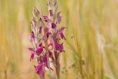"Explored - a pink stick insect (BJSmit) Tags: flower explored explore pink orchid insect stickinsect akrotiri akrotirianddhekelia cyprus ""bacillus atticus cyprius"" bacillus cyprius"