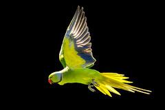 Parakeet in flight (Nodulespix) Tags: birds parakeet ringneckedparakeet flight inflight flying