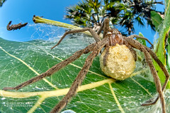 Nursery web spider (cf. Nilus sp.) - DSC_2878 (nickybay) Tags: bugshot mozambique gorongosa macro africa cctv wideangle pisauridae nilus dolomedes nursery web spider
