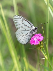 Croatia - Black-veined White (June 7th) (ArtFrames) Tags: butterfly croatia naturetrek butterflies blackveined white