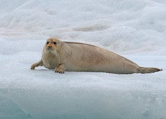 Bearded Seal (nicnac1000) Tags: ice glacier seal beardedseal svalbard spitzbergen norway