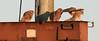 Young kestrels fledging, Whitstable, Kent, late evening light (Jim_Higham) Tags: bird nature natural wild widlife avian british english uk britain eu europe european
