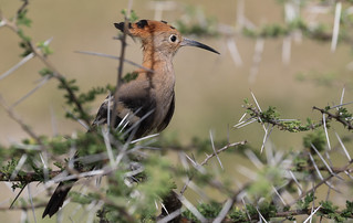 Hoopoe In The Thorns