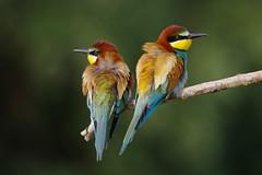 I colori dei gruccioni (kmclaudio) Tags: pentaxart gruccioni colori piume penne uccelli bird coppia