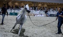 Arabia horse | (! FOX) Tags: arabia horse horses fox al5ain canon action مربط العزاز خيل عربي اصيل للبيع spirit sale