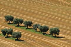 in fila (luporosso) Tags: natura nature naturaleza naturalmente nikon nikond500 nikonitalia alberi trees paglia straw estate summer marche italia italy