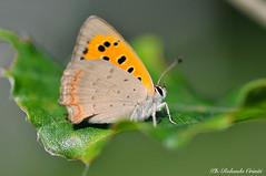 Farfalla _129 Lycaena ottomana maschio (Rolando CRINITI) Tags: farfalla lycaenaottomana macro passodelfaiallo natura insetti